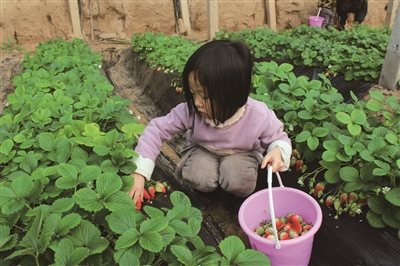 游客在鲁西葡萄生态不雅观光园采摘成熟的草莓